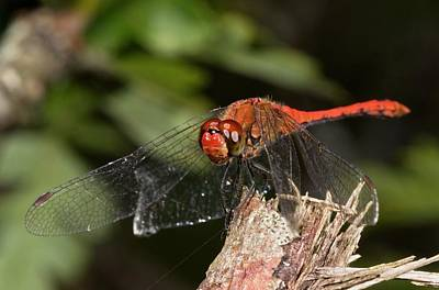 Darter Photograph - Ruddy Darter Dragonfly by Bob Gibbons