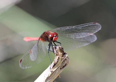 Art Print featuring the photograph Ruddy Darter Dragonfly - Sympetrum Sanguineum by Jivko Nakev