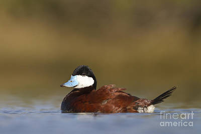 Art Print featuring the photograph Ruddy Duck  by Bryan Keil