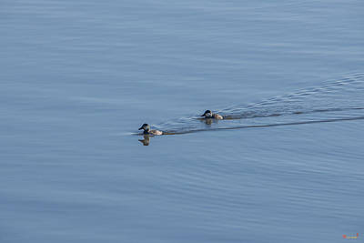Photograph - Ruddy Ducks Leaving Wakes Dwf125 by Gerry Gantt
