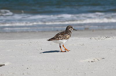 Ruddy Turnstone 2 Art Print by Cathy Lindsey