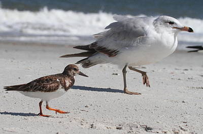 Tide Photograph - Ruddy Turnstone And Seagull Walking by Cathy Lindsey