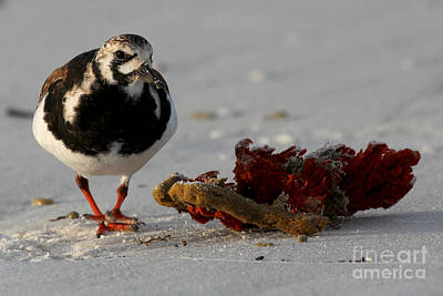 Photograph - Ruddy Turnstone by Meg Rousher