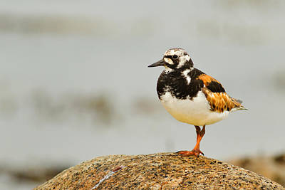 Bayswater Photograph - Ruddy Turnstone by Trevor Awalt