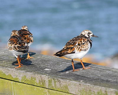 Ruddy Turnstones Art Print