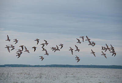 Photograph - Ruddy Turnstones On Port Royal Sound by John Black