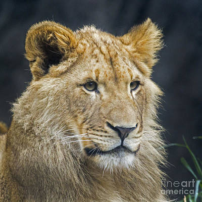 Photograph - Rudo - Lion Cub by Sonya Lang