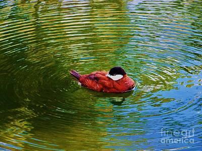 Birds Photograph - Rudy Duck by Chuck  Hicks