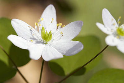 Photograph - Rue Anemone by Melinda Fawver
