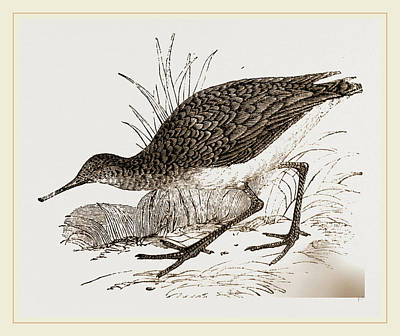 Ruff Drawing - Ruff In Winter Plumage by Litz Collection