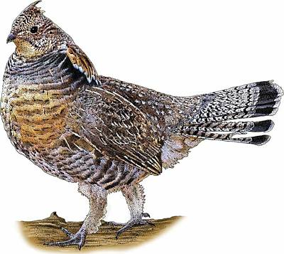 Photograph - Ruffed Grouse by Roger Hall