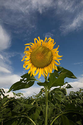 Sunflowers Royalty-Free and Rights-Managed Images - Ruffle Sunflower by Peter Tellone