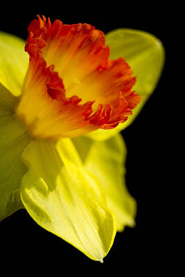 Spring Bulbs Photograph - Ruffled Cup by Caitlyn  Grasso