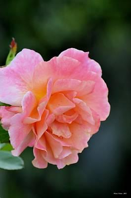 Photograph - Ruffled Pink by Maria Urso