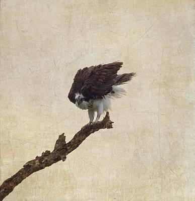 Ruffled Up Osprey Art Print by Kim Hojnacki