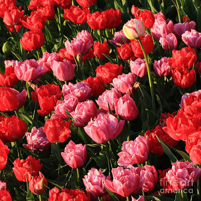 Tulips Photograph - Ruffly Pink And Red Tulips Square by Carol Groenen