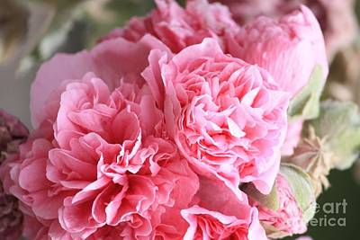 Studio Grafika Zodiac Rights Managed Images - Ruffly Pink Hollyhock Royalty-Free Image by Carol Groenen