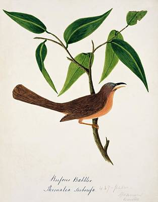 Rufous Wall Art - Photograph - Rufous Babbler by Natural History Museum, London/science Photo Library