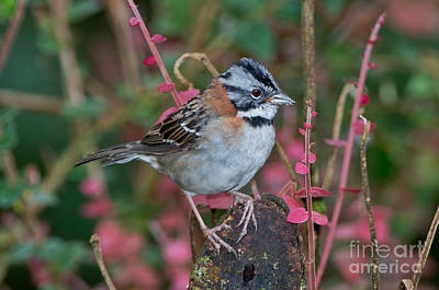 Rufous-collared Sparrow Art Print by Anthony Mercieca