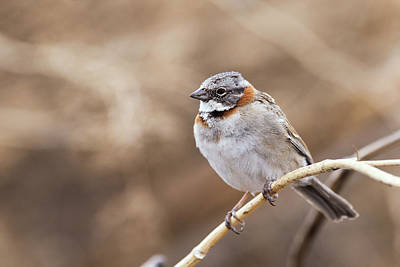 Rufous Wall Art - Photograph - Rufous-collared Sparrow by Dr P. Marazzi/science Photo Library