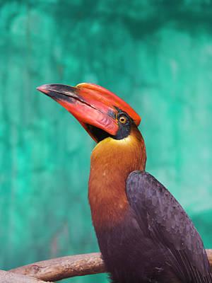 Rufous Photograph - Rufous Hornbill (buceros Hydrocorax by Keren Su