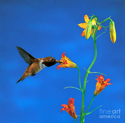 Photograph - Rufous Hummingbird by Anthony Mercieca