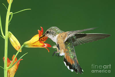 Wild Tiger Lily Photograph - Rufous Hummingbird At Tiger Lily by Anthony Mercieca