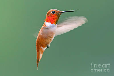 Photograph - Rufous Hummingbird by Bill Singleton