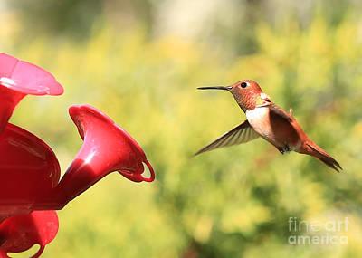 Photograph - Rufous Hummingbird by Carol Groenen