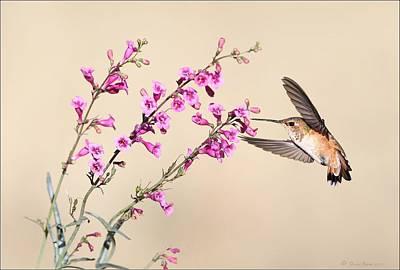 Photograph - Rufous Hummingbird by Daniel Behm