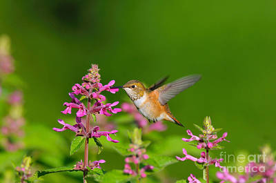 Photograph - Rufous Hummingbird Feeding by Tom and Pat Leeson