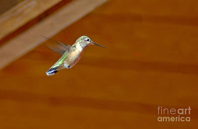 Photograph - 202p Rufous Hummingbird Female by NightVisions