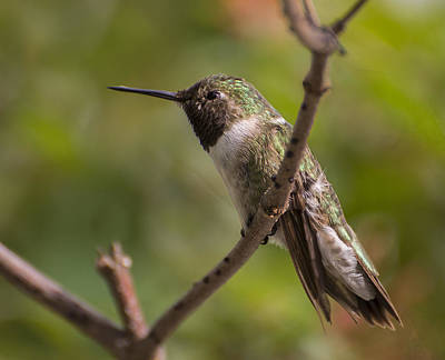 Photograph - Rufous Hummingbird by Penny Lisowski