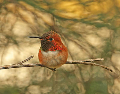 Photograph - Rufous Hummingbird Sitting by Peggy Collins