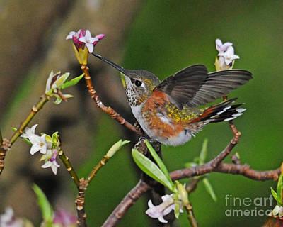 Photograph - Rufous Hummingbird Springtime by Jack Moskovita