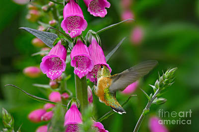 Photograph - Rufous Hummingbird by Thomas and Pat Leeson