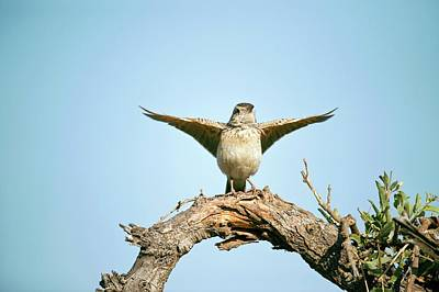 Rufous Wall Art - Photograph - Rufous-naped Lark by Dr P. Marazzi/science Photo Library