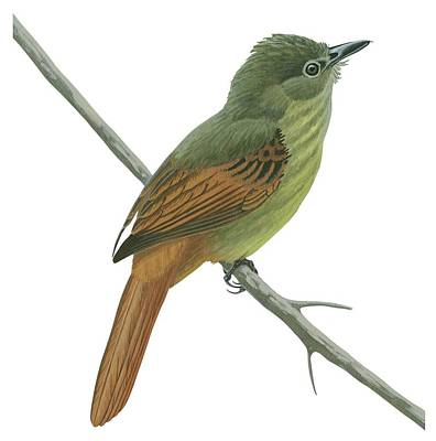 Rufous Wall Art - Drawing - Rufous Tailed Flatbill  by Anonymous