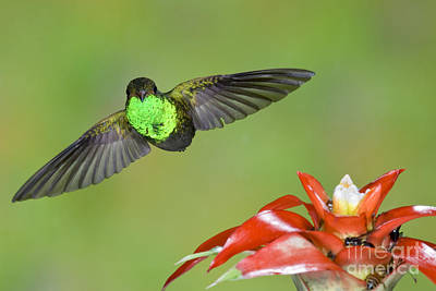 Amazilia Photograph - Rufous-tailed Hummer-ecuador by Anthony Mercieca
