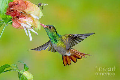Photograph - Rufous-tailed Hummingbird by Anthony Mercieca