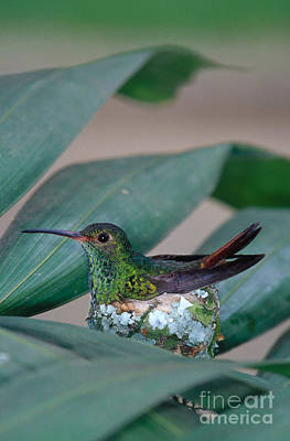 Photograph - Rufous-tailed Hummingbird On Nest by Gregory G Dimijian MD