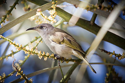 Photograph - Rufous Throated Honeyeater by Brad Grove