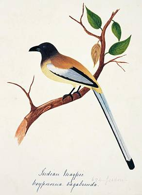Rufous Wall Art - Photograph - Rufous Treepie by Natural History Museum, London/science Photo Library