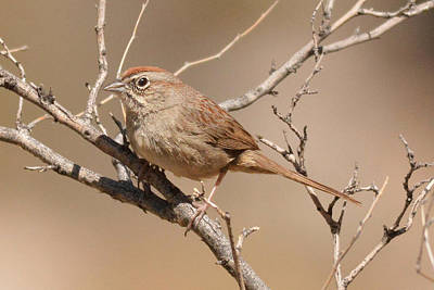 Photograph - Rufus-crowned Sparrow by Alan Lenk