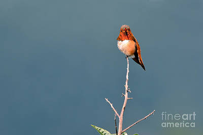 Photograph - Rufus Hummingbird I I by Laura Mountainspring