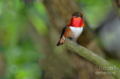Photograph - Rufus Hummingbird by Laura Mountainspring