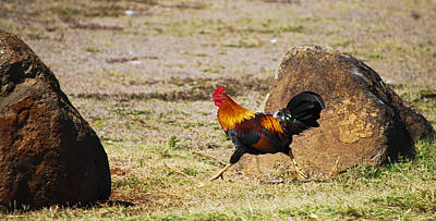 Photograph - Run Run Rooster by Christi Kraft