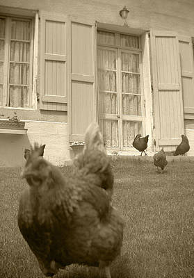 Photograph - Running Chickens by Matthew Pace
