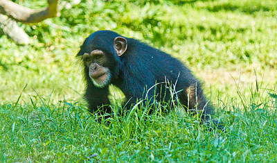 Photograph - Running Chimp by Jonny D