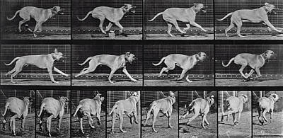 Mastiff Wall Art - Photograph - Running Dog by Eadweard Muybridge
